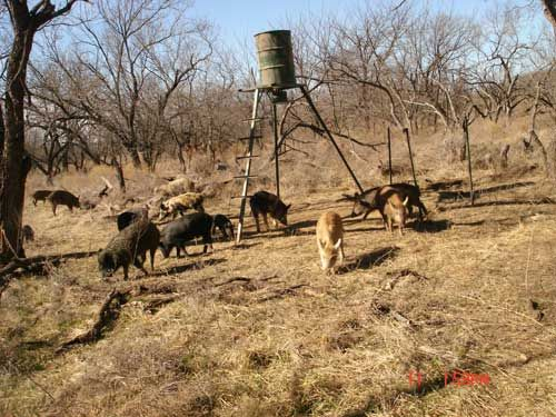 Population in excess of 5 million feral hog in texas feral hogs are