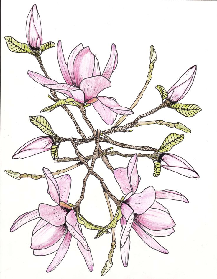 Pink Flower Line Drawing : Pin by paula parrish on drawings pinterest
