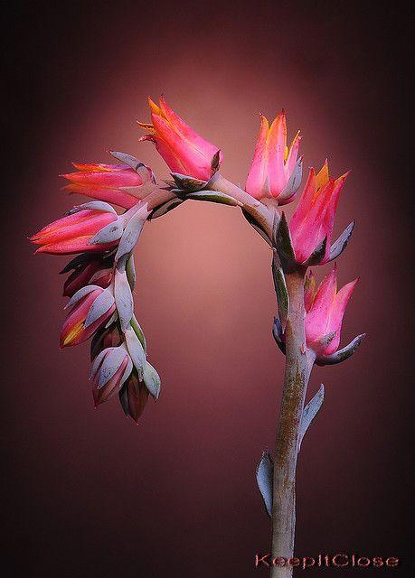Eucculent: echeveria flower spike