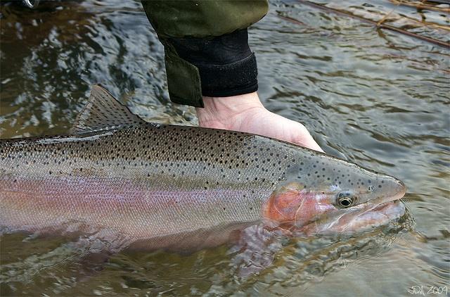 The washington state fish is the steelhead trout the for Washington state fish