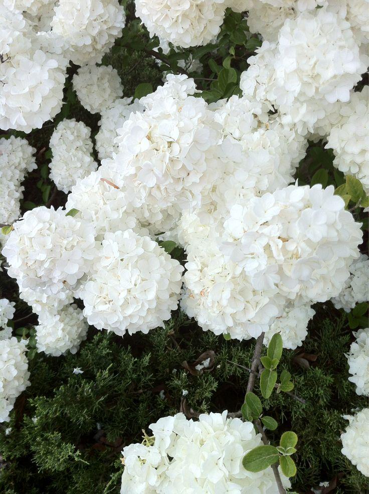 white hydrangea bush.