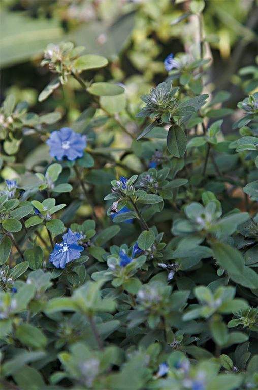 ) Espécie de folhas verdeacinzentadas, que floresce o ano todo