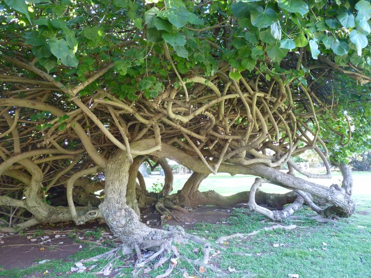 Hau Tree...Crazy branch system. | Honolulu Zoo | Pinterest