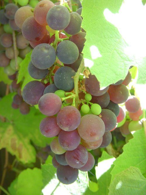 French Kissed Vineyard