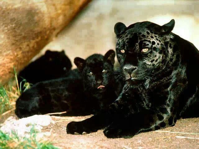 фото пантера f