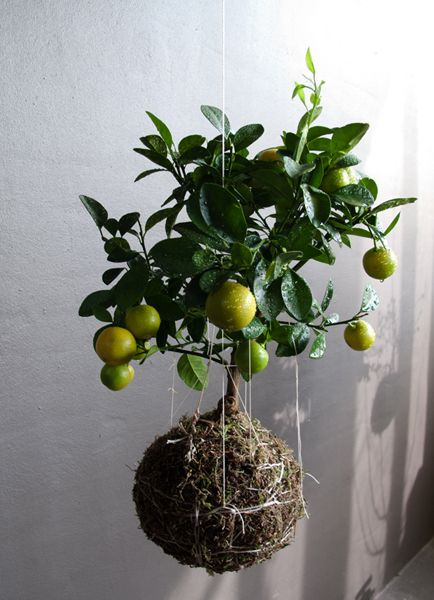 String Garden--Hanging Citrus Tree!