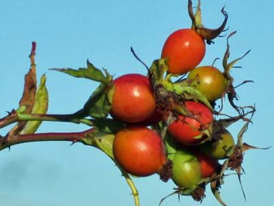 rose hip apple jelly | jams, jellies, pickles and preserves | Pintere ...