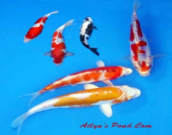 Baby to adult koi fish art natural wonders pinterest for Baby koi carp