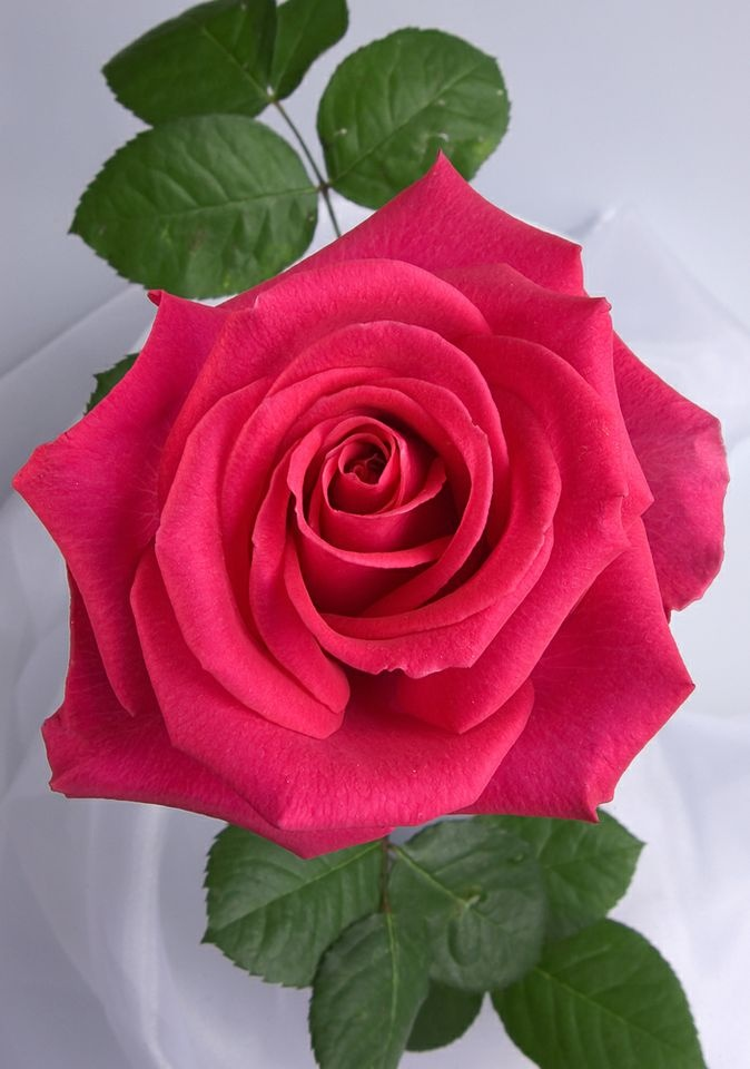 valentine's day rose colors