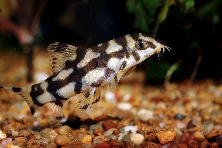 Zebra loach Fish Pinterest