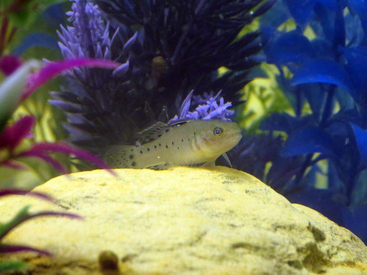 knight goby #trustefish Fish Pinterest