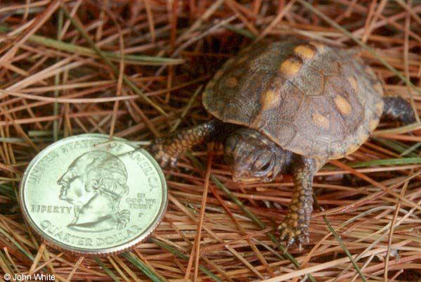 baby box turtle Turtles!!! Pinterest