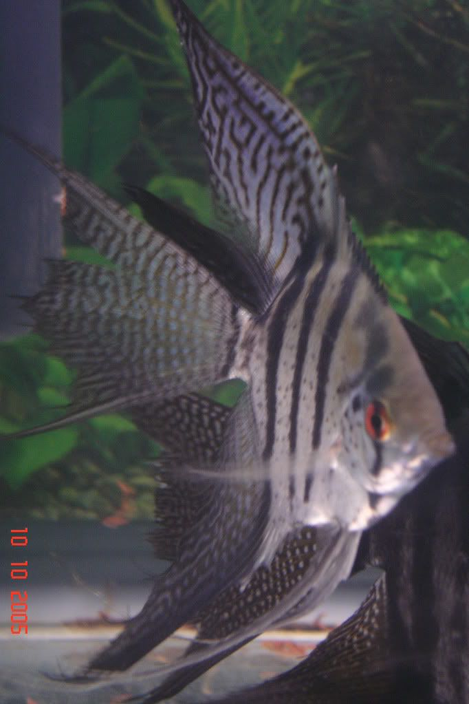 black lace angelfish | half black zebra lace veiltail ...
