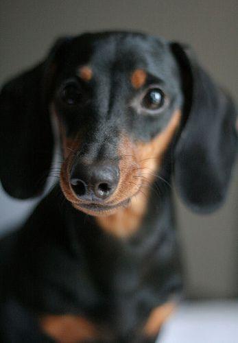 I Love Dachshunds I love Dachshunds! | D...