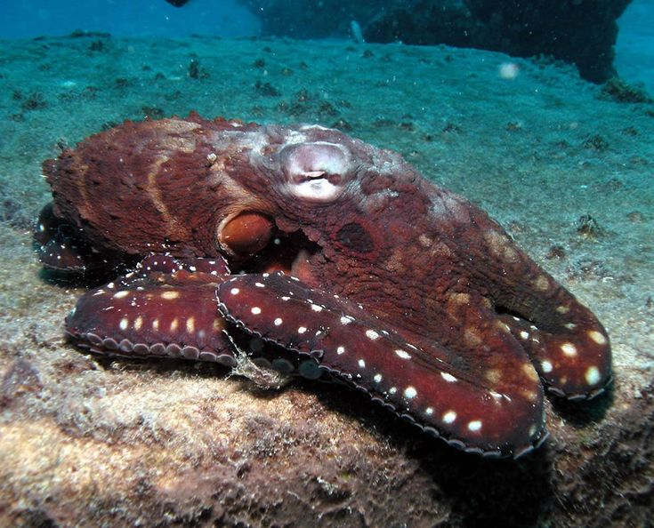 Octopus underwater on the GBRUnderwater Octopus