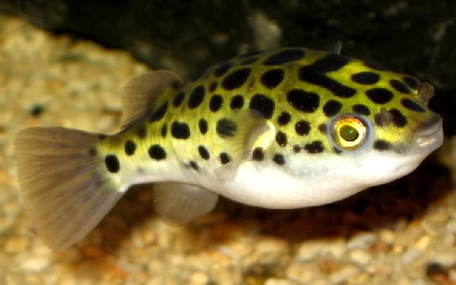 Figure 8 Puffer Fish I Want To Own Someday Pinterest