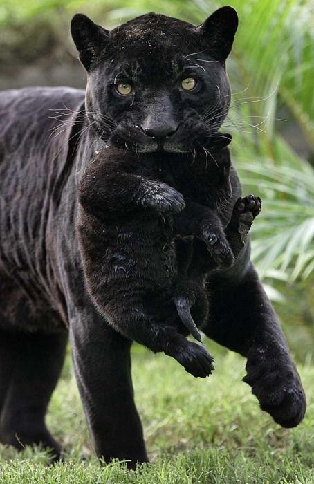 Love black leopards.