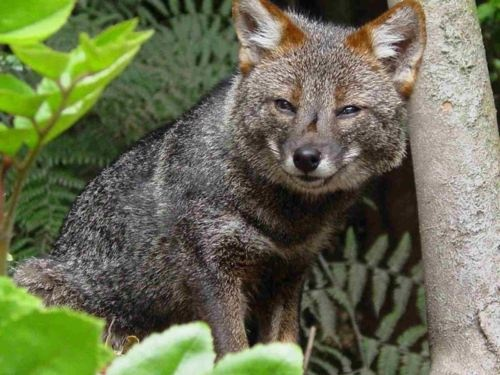 critically endangered darwins fox cunning little thing