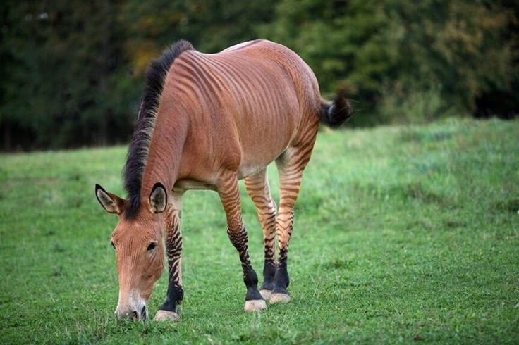 Zorse. Half horse and half zebra. | Zonkeys (x Zebra ...