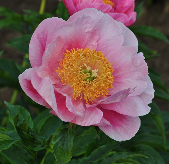 Herbaceous Peony, Paeonia 'Coral Tide'