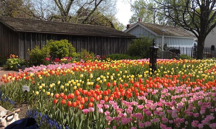 Image result for pella iowa tulip pic