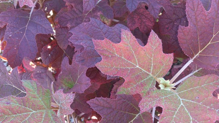HydrangeasOakleaf Hydrangea Fall Color