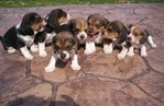 BEAGLES!!!!!!! A creature made entirely of love!
