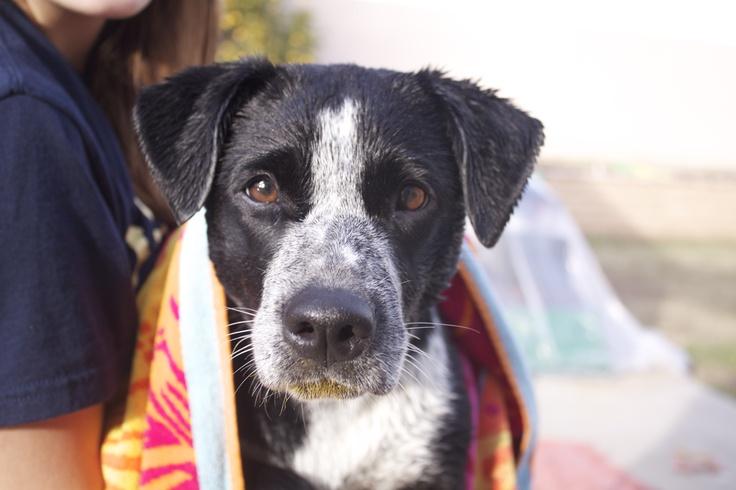 Queensland Heeler Border Collie mix | Good Dogs | Pinterest