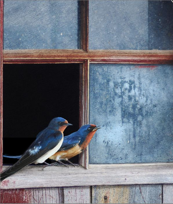 Waiting for spring Barn swallows in old farm window by R Christopher Vest