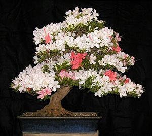 proflowers azalea bonsai review