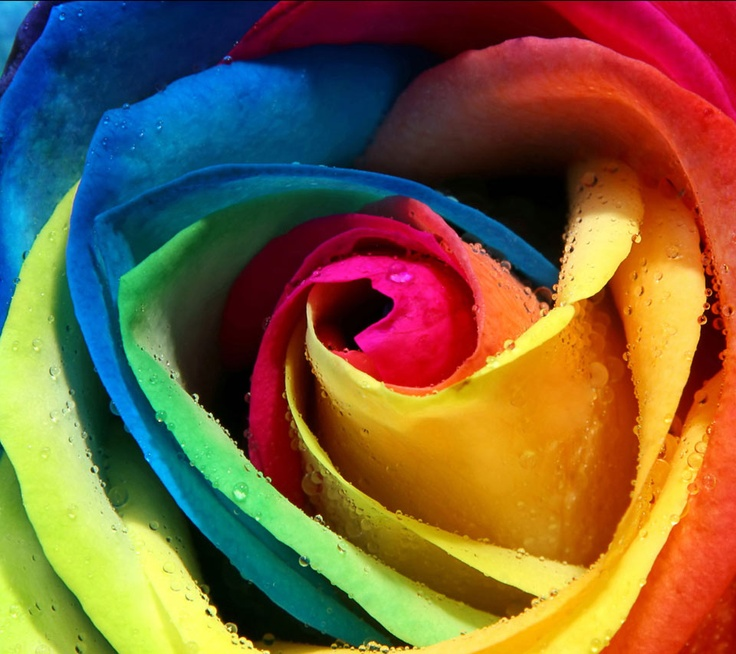 Rainbow rose all colors pinterest for Where to get rainbow roses
