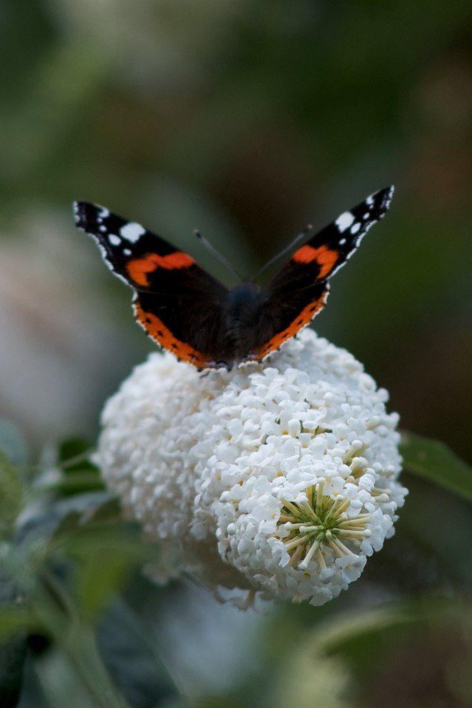 Red Admiral Butterfly | Butterflies and Dragonflies | Pinterest