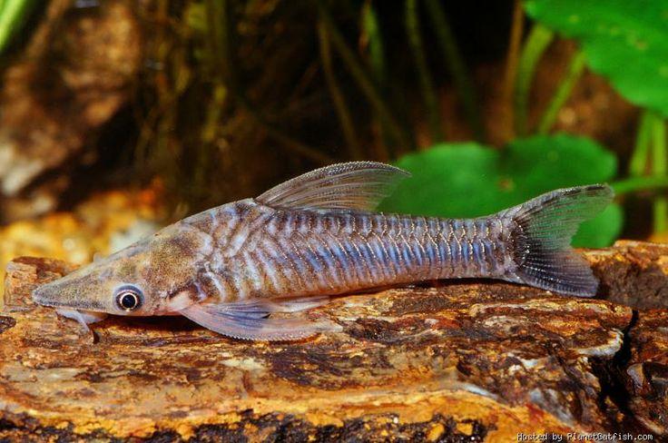 Loach Catfish : Found on planetcatfish.com