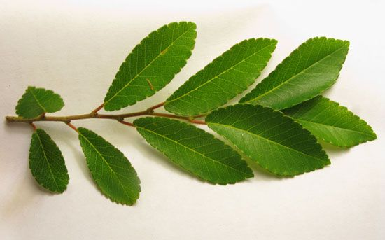 leaves(close-up) chinese elm | Street Trees Central Coast | Pinterest