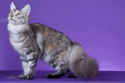 Maine Coon Colors and Patterns