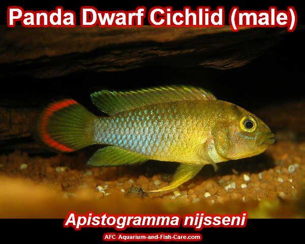 Panda Dwarf Cichlid Freshwater Aquarium Fish - Aquariumfische Pi ...