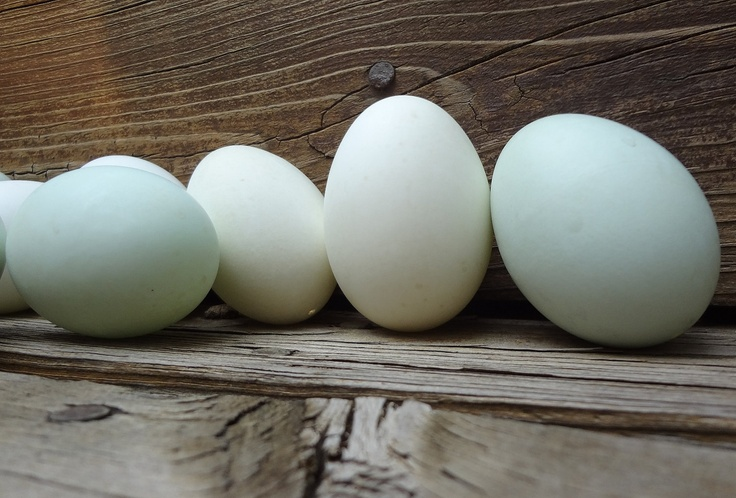 Eggs, ONE Dozen Clean, Blown Duck Blue and White Eggs for ...