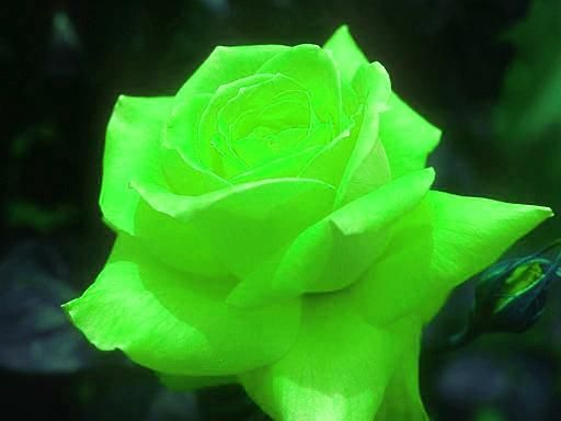 A neon green rose color my world pinterest for Green colour rose images