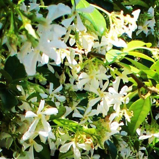 Vendita Online Piante da Siepe in vaso - Sale Online Hedge Plants in