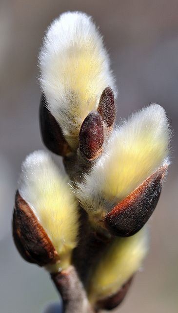 'Pussy willow' is a name given to many of the smaller species of the genus Salix (willows and sallows) when their furry catkins are young in early spring.  // by SpitMcGee