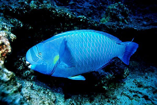 Blue parrotfish animals pinterest for Fish in pussy