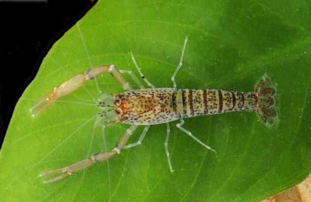 Amazon Zebra Shrimp Freshwater Inverts Pinterest