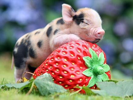 micropiglet hugging a strawberry