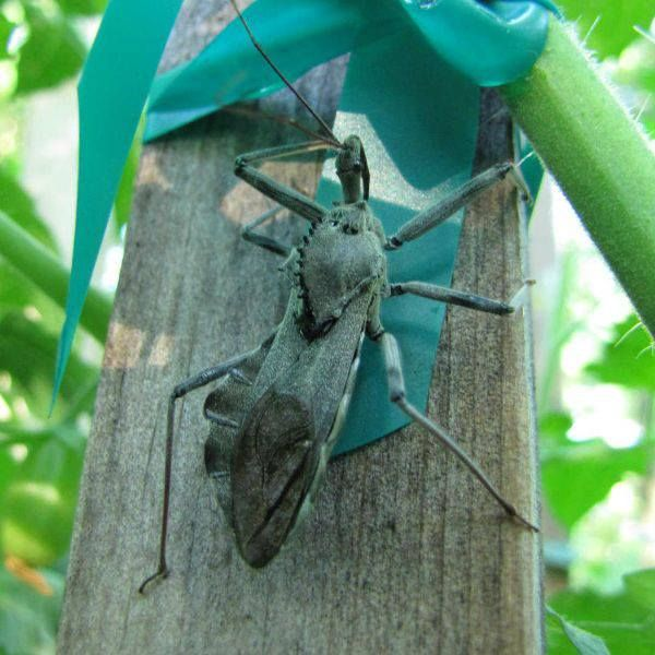 Leaf footed bug a k a stink bug insects amp fungus pinterest