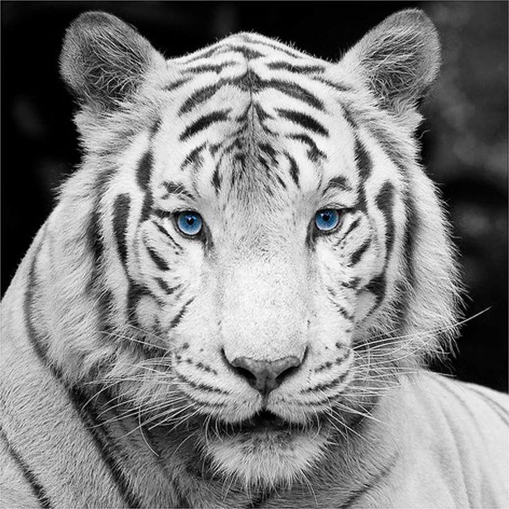 Bengal tiger eye color