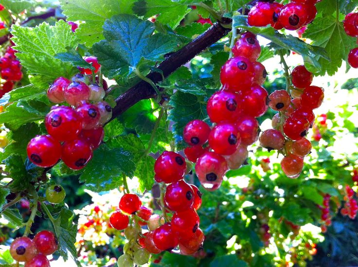 Red currant raspberry jam | canning | Pinterest