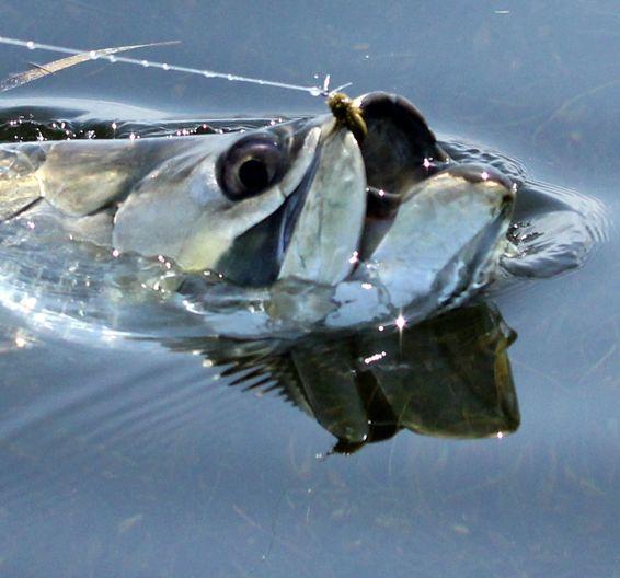 Tarpon salt water fish pinterest for Tarpon fish pictures