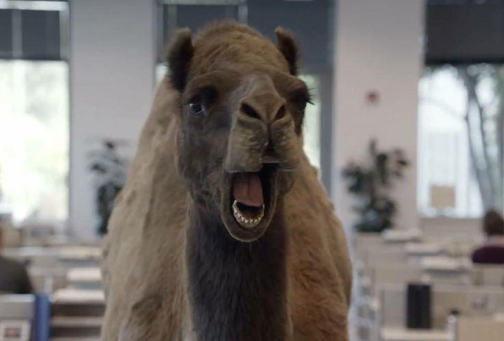 Geico Happy Hump Day Images Geico camel, catholic pride,