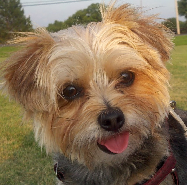 Similiar Yorkie Poo Haircuts Curly Keywords