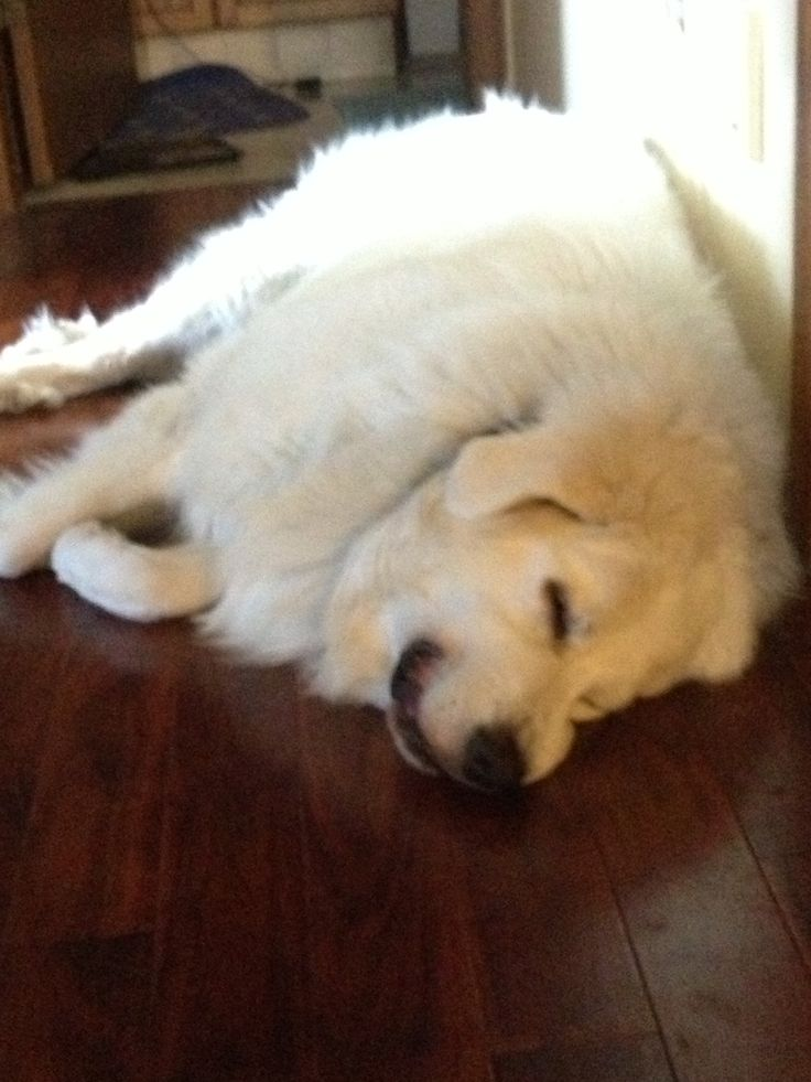 My baby Shasta a Great Pyrenees   Great Pyrenees   Pinterest
